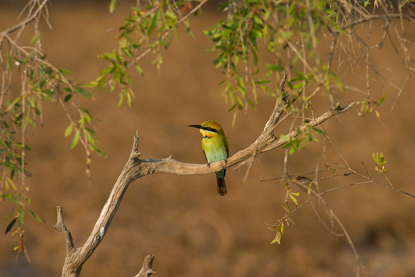 Rainbow Bee-eater, Lakefield NP, QLD
