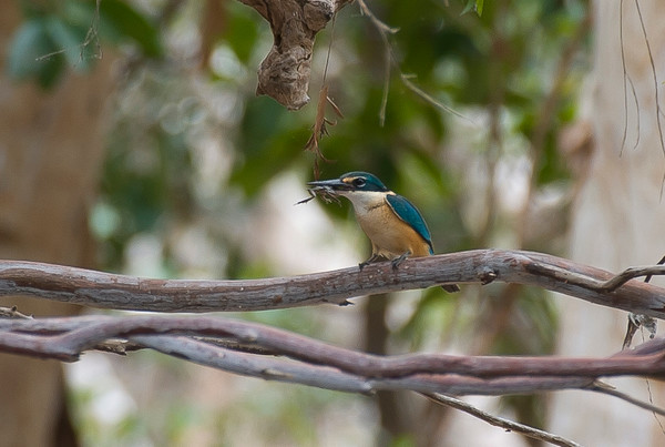 Sacred Kingfisher with frog. Lakefield NP, Saltwater Creek