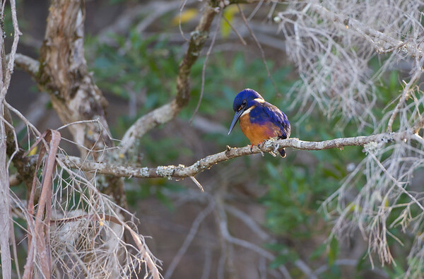 Azure Kingfisher, Wynyard, Tasmania