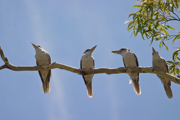 Laughing Kookaburra, Wallabi Point NSW