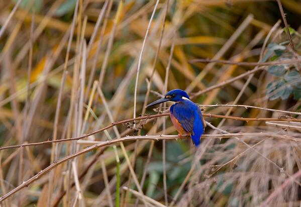 Azure Kingfisher, Goulburn River, NSW