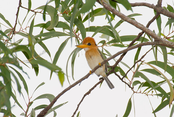 Yellow-billed Kingfisher, Iron Range, QLD