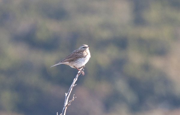 New Zealand Pipit, Mason Bay, Stewart Island, NZ